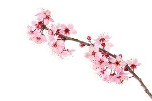 la flor del cerezo
