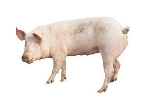 el cerdo, la cerda