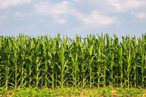 el maíz criollo
