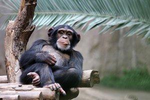 el simio