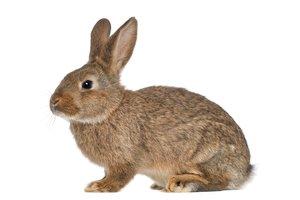 el conejo, la coneja