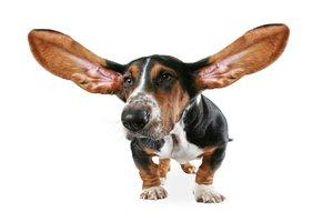 big-eared
