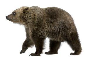 el oso, la osa