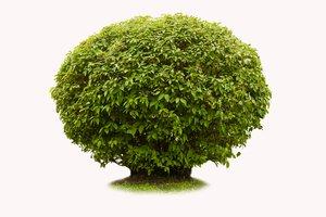 el arbusto