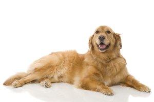 el perro, la perra