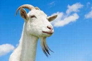 Goat in Spanish | English to Spanish Translation - SpanishDict