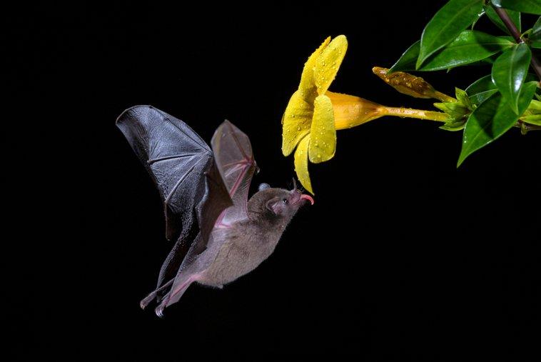 flowerbat